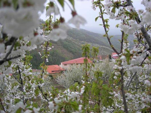 cerezo en flor Valle de Jerte