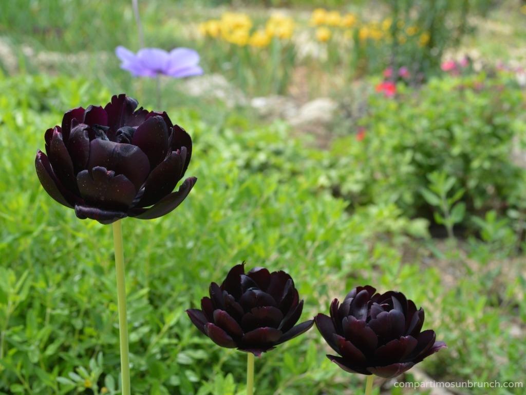 tulipan-negro